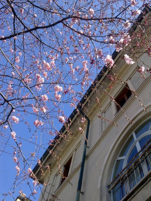 Cherry blossoms and and industrial architecture....